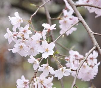 exhibition sakura cherry blossoms as living symbols of friendship